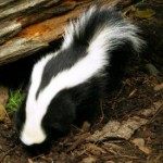 Resilient as a Skunk...